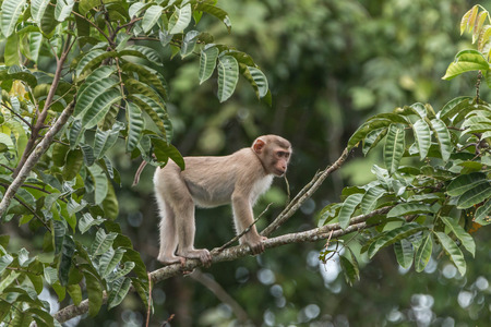 phylum: Monkey or ape is the common name of the chordate phylum. Floor mammal Rated apes (Primates) manner similar to humans.