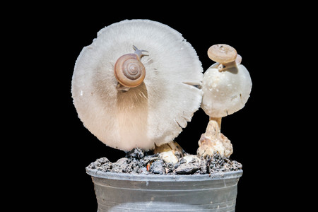 make known: Man known to cook the mushrooms and the mushroom eating for a long time, about 130 million years, the mushroom can be used as food, but also used to make medicines also.