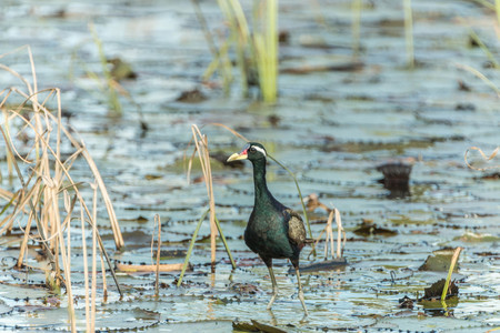 characteristics: Jacana found in Thailand, two types of characteristics: male and female have similar characteristics. Yellow beak mouth, a red bar. The frontal gray leather