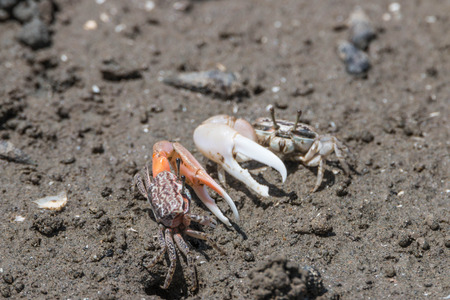 hardshell: Crab crab is smaller. Some colorful carapace and claws are digging a hole in the forest floor general. Some perched on mangrove roots in general or by post.