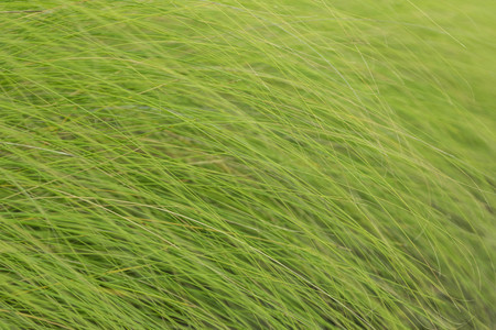 multilayer: Grass is a biennial multi-currency, multi-layer Liliopsida family Poaceae or Gramineae family is well known that such grass (Imperata cylindrica Beauv.) Grass crows feet.