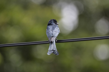 forked tail: Wong Drongo general characteristics of birds in this family will have black fur. The tail is forked Some eyes are red when fully grown. Live on the trees