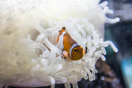 false percula clownfish: Bony fish are small fish that live in the sea. Held in the subfamily Amphiprioninae In pomacentridae Stock Photo