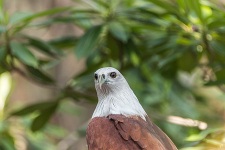 bird eating raptors: Hawk is similar to the Eagle The birds of prey as well. But the Hawks are smaller than Is there a hooked beak. A sharp claws and strong Flying at a glance Wings spread wide and long Can fly or glide high And have very good eyesight