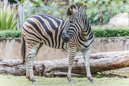 hoofed mammal: Zebra animal mammal hoofed odd. Stock Photo