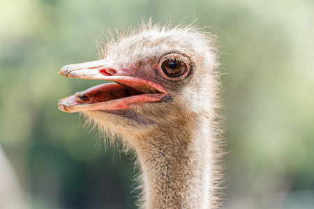 vertebrates: Ostrich (Scientific Name: Struthio camelus) are classified as vertebrates. A bird that is the largest in the world. Originated in Africa