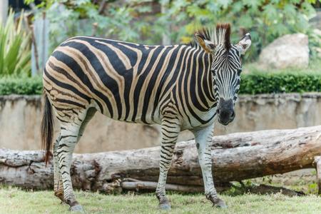 hoofed: Zebra animal mammal hoofed odd.  Stock Photo