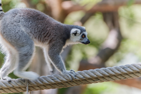 yellow tailed: The polymer is the base of the mammal in the primate or monkey. Using scientific name Lemuriformes. The overall appearance of the polymer is generally shaped like a monkey.