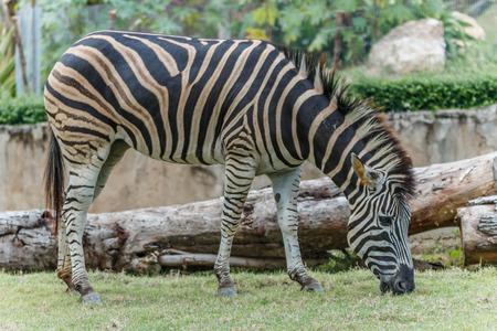 mammal: Zebra animal mammal hoofed odd. Stock Photo