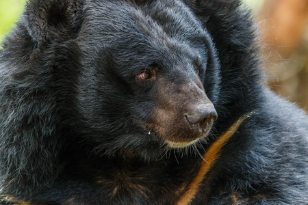 round eyes: Bear is in the chordate phylum. Floor mammal The carnivores The ball is in the family Ursidae. Small round eyes and ears