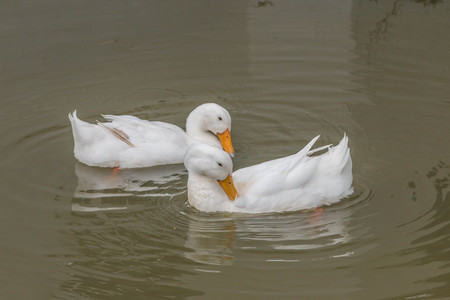 flat foot: Poultry Ducks are in the family Anatidae Anatidae Mouth-inch flat foot flat between the membrane attached to a pool of many colors such as brown, white, green, pink, purple, smaller than a goose.