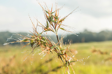 imperata: Grass is a biennial multi-currency, multi-layer Liliopsida family Poaceae or Gramineae family is well known that such grass Imperata cylindrica Beauv. Grass crows feet.