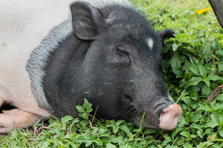 herbivorous animals: Pigs are animals which are herbivorous ungulates pair. But eat both plants and animals as well as wild boar ancestors. Swine evolve stomach and intestines longer, because larger plants are more difficult to digest flesh.