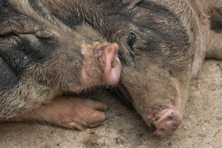 ungulates: Pigs are animals which are herbivorous ungulates pair. But eat both plants and animals as well as wild boar ancestors. Swine evolve stomach and intestines longer, because larger plants are more difficult to digest flesh.