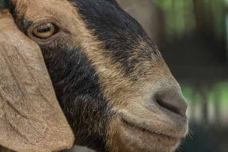 hircus: Goats Scientific name: Capra aegagrus hircus is a subspecies of goat taming of wild goats in southwest Asia and Eastern Europe