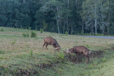 dark brown hair: Hog deer are small Build a relatively short thigh-length head - body height 105-115 cm at the shoulder is 60-75 cm, dark brown hair. A black line runs along the spine. Stock Photo