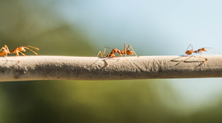 mot: MOT has a scientific name Oecophylla smaragdina F. an ant species that no large steel segment in the first waist slender body. Most are red - orange. Together with members