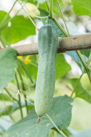cucurbitaceae: Cucumber or melon vine in the family shop. Cucurbitaceae (Gourd, bitter gourd, pumpkin, watermelon same family) originated in India. The growing popularity for use as food. Stock Photo