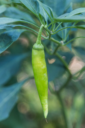 capsicum plant: The genus Capsicum pepper plants in the family Solanaceae, which is a spice spice one. Nature botany. Chili is biennial plant with a single result.