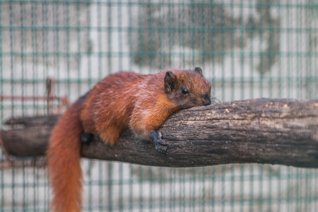 bushy: Squirrel is a mammal. A small body size Shaggy covering the whole body with black eyes, bushy tail swells are classified as rodents in the family Sciuridae.