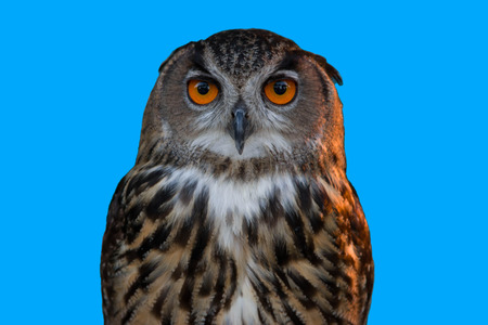 eye red: Owl or owl or owl Strigiformes bird is in a face like a cat. As the source of generic catch small prey such as mice.