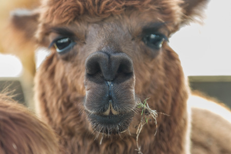 the name of the drug: Pushkin is the scientific name Vicugna pacos a mammal in the family camel. Is similar to the drug