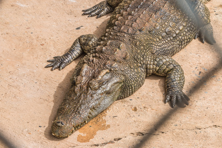 enemies: Gators hold the animal at the top of the food chain ah. Because of the large carnivorous predators. That no natural enemies Except in young alligator The food becomes larger. Stock Photo
