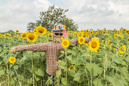 one level: Sunflowers are one crop season has deep roots. The roots will grow at a level 30 cm from the surface. A tall stem, leaves, driven alternately on the stem. The ramifications of the trunk