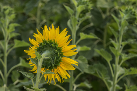 deep roots: Sunflowers are one crop season has deep roots. The roots will grow at a level 30 cm from the surface. A tall stem, leaves, driven alternately on the stem. The ramifications of the trunk
