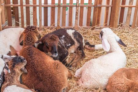 macho cabrio: Las cabras (nombre cient�fico: Capra hircus aegagrus) es una subespecie de cabra domesticaci�n de cabras salvajes en el sudoeste de Asia y Europa del Este