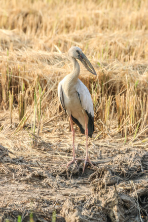 anastomus: Asian Openbill Scientific name: Anastomus oscitans held in the family Stork (Ciconiidae) is a small bird in this family.