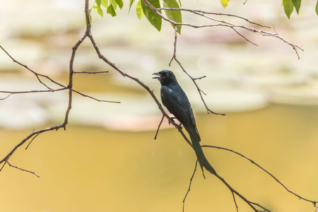 characteristics: Wong Drongo, general characteristics of birds in this family will have black fur.