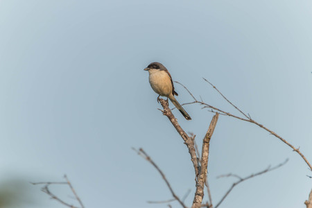 shorter: Shrike is a bird species of perch family Laniidae. A small bird with a long beak, about 18-25 cm shorter than the head.