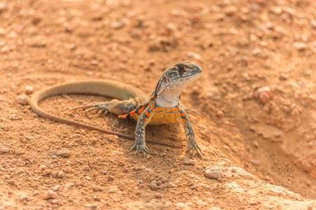 reptile: Reptile species, lizard