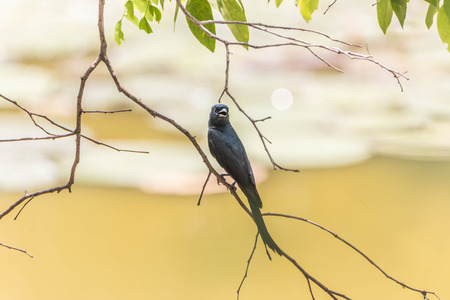 forked tail: Wong Drongo general characteristics of birds in this family will have black fur. The tail is forked Some eyes are red when fully grown.