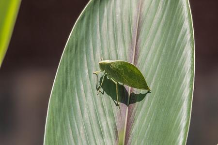 the antennae: Locusts, grasshoppers have short antennae.