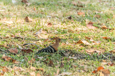 tapering: Hoopoe The length from the tip of the mouth to tail, about 30 cm long, very long, small head, mouth slightly curved and tapering. Lip color is black