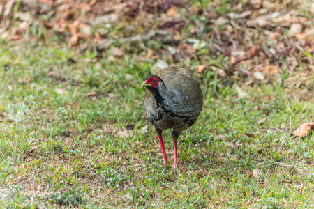 phasianidae: Pheasant is a common name for several species of birds, many in Phasianidae, usually in the subfamily Phasianinae.