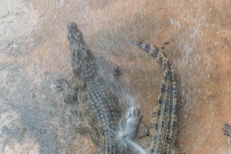 predators: Alligator or Gators, the large carnivorous predators. Stock Photo