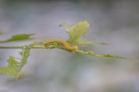 tomato caterpillar: The worm is a term used to refer to a maggot that is changing shape and growing Holometabola The four stages are egg, caterpillar, pupa. Stock Photo