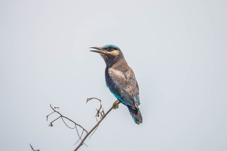 indochina: Indian Roller or the birds legs are endemic bird found in Asia. Area from Iraq Indian Subcontinent To Indochina Common trees along power lines or sparse field.