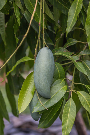 originated: Mango trees in the genus Mangifera, a tropical fruit tree in the family. Anacardiaceae Scientific name: Mangifera indica is a plant that originated in India. Stock Photo