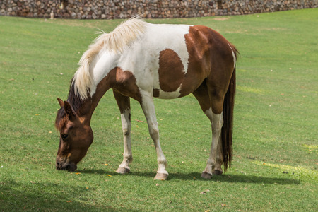 evolved: One of the two subspecies of Equus ferus, or the wild horses that still exists today. Mammal family Equidae horses hoof has evolved for more than a year of life 45-55000000 many small hoof.