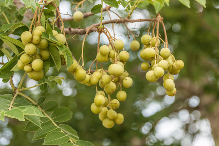 occurs: Forest fruit is a fruit that occurs naturally in the wild. Both edible and inedible. A variety of wildlife. Increase the fertility of the forests.