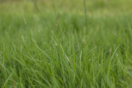 Grass is a biennial multi-currency, multi-layer Liliopsida family Poaceae or Gramineae family is well known that such grass (Imperata cylindrica Beauv.) Grass crows feet.