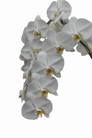 plants species: Orchidee, o le orchidee fioriscono piante che sono il gruppo pi� eterogeneo, con circa 880 generi e circa 22.000 specie sono riconosciute (probabilmente pi� di 25.000 specie