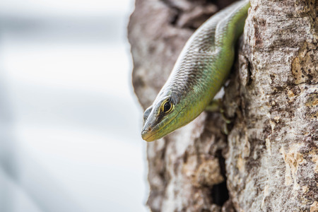 saurian: The scientific name is skink Scincidae reptile vertebrate. Found either in houses stacked trees and the forests currently has about 116 currencies.