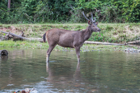 elaphus: Deer are wild animals in the wild. Food is typical grass Usually found in grasslands Turrets.Good a natural Shineys Stock Photo