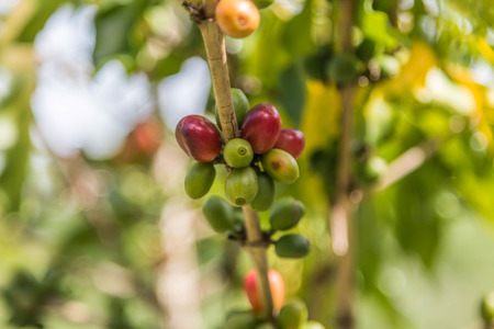 Coffee is a drink made from the seeds of the coffee plant, which is commonly called coffee beans roasted coffee trees are grown in more than 70 countries worldwide.