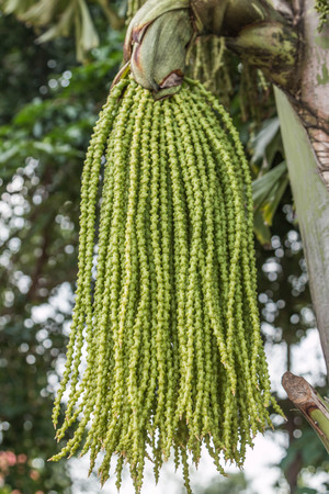 The shortage is a perennial type or palm shoots. Broken stems clump clump is about 6-12 one tree trunk to articulate. And bend away from the root clump height of 25-30 feet. Stock Photo